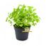 Frische BIO Melisse Pflanze