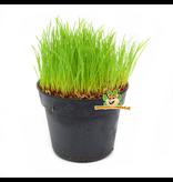 Fresh BIO Cat Grass Plant Fine