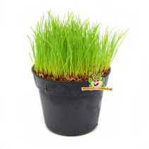 Fresh Organic Cat Grass Plant Fine