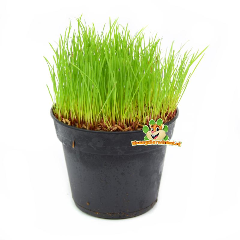 Frische BIO Katzengraspflanze Fein