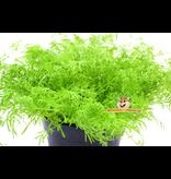 Fresh Organic Chamomile Plant