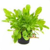 Frische organische Löwenzahnpflanze