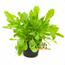 Verse BIO Paardenbloem Plant
