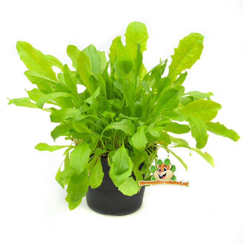 Fresh Organic Dandelion Plant
