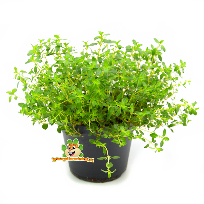 Frische Bio Thymianpflanze