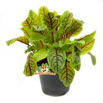 Fresh BIO Sorrel Plant