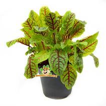 Frische BIO-Blutsauerampfer-Pflanze