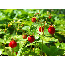 Fresh Organic Wild Strawberry Plant