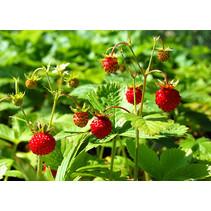 Frische BIO wilde Erdbeerpflanze