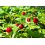 Fresh Organic Wild Strawberry Plant