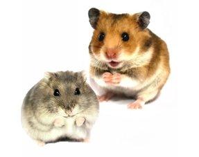 Hamster Information