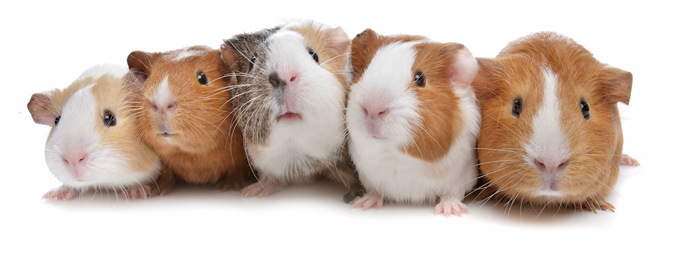 guinea pig webshop for guinea pig food, guinea pig snacks, toys and guinea pig houses