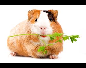 Guinea Pig Herbs