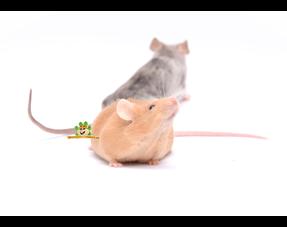 Informationen zu Mäusen