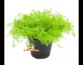 Frische Nagetierpflanzen