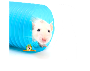 Gesundheit der Ratte
