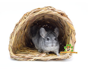 Chinchilla Pflege