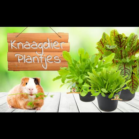 Verse BIO Wilde Aardbei Plant
