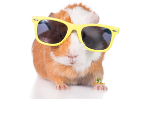 Guinea pig Summer products