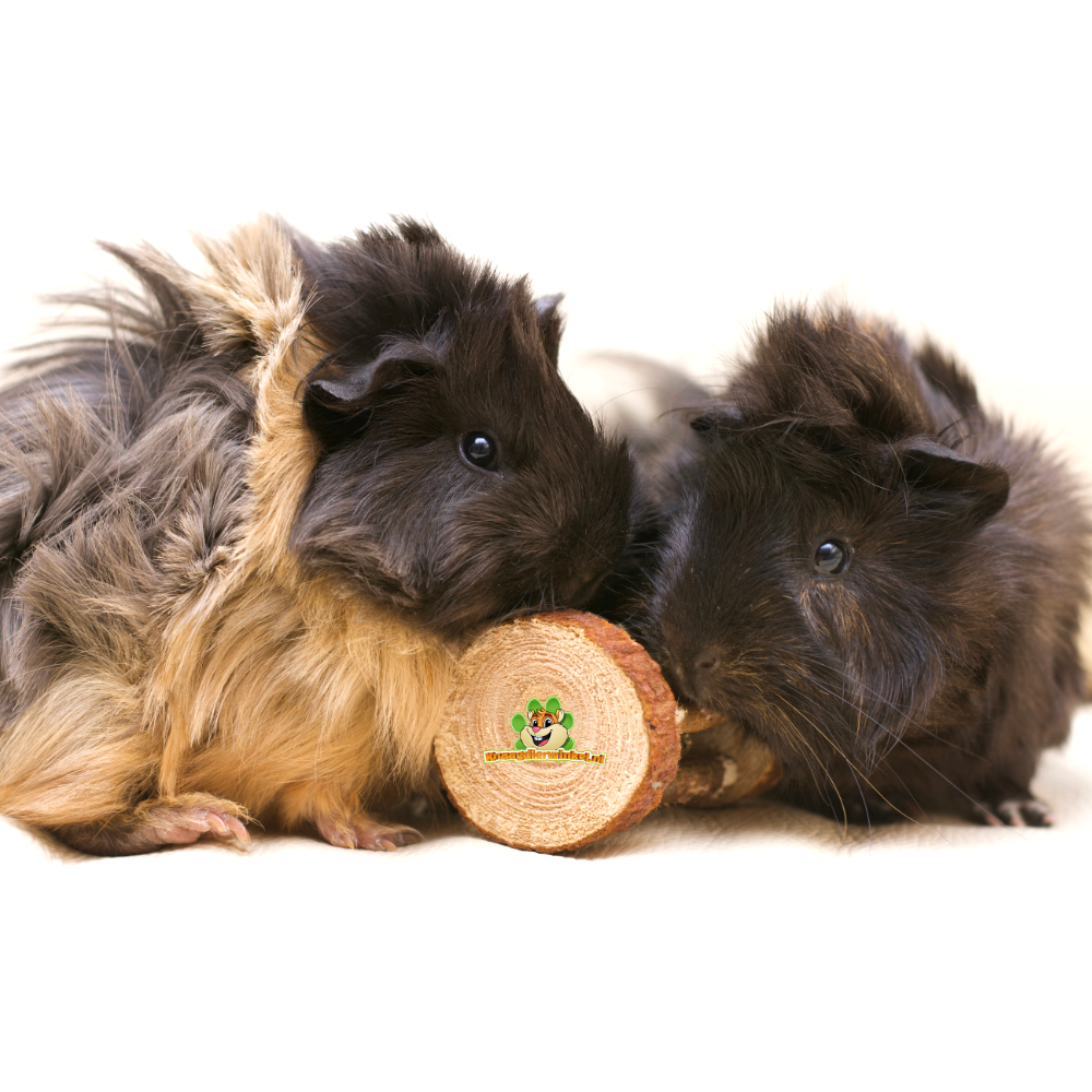guinea pig toys and toys for guinea pigs