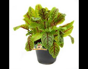 Fresh Hamster Plants