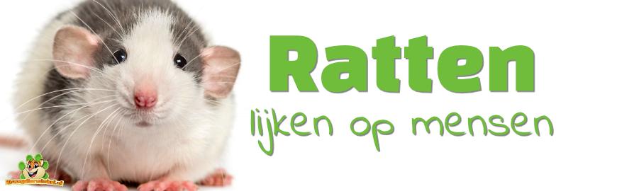 Ratten lijken bijzonder veel op mensen