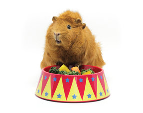 Guinea pig bowls