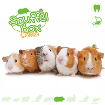 Snuffelbox Guinea pig