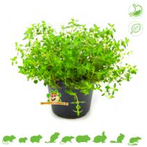 Frische BIO Thymian Pflanze