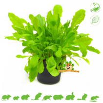 Fresh BIO Dandelion Plant