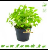 Fresh ORGANIC Melissa Plant