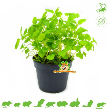 Frische BIO Melissenpflanze