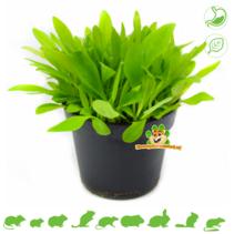 Frische BIO Wegerichpflanze