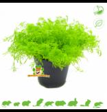 Frische BIO Kamille Pflanze