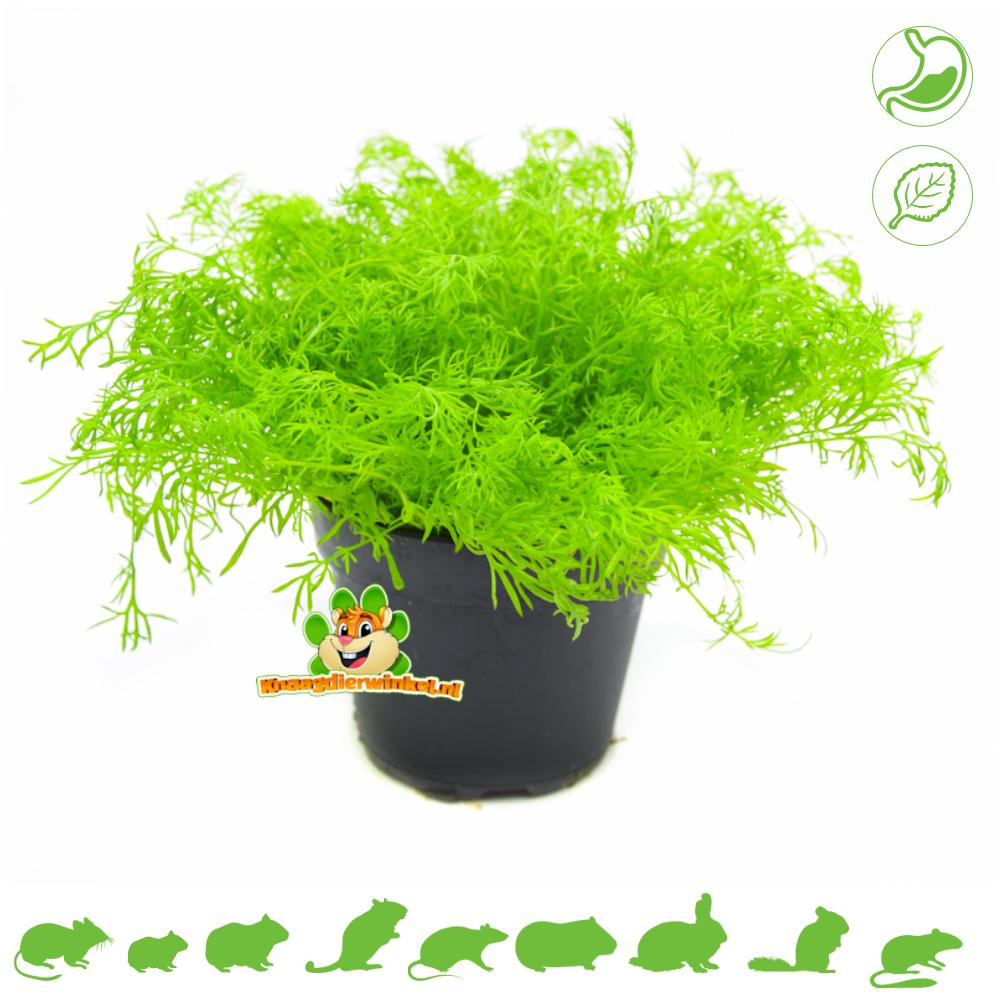 Verse BIO Kamille Plant
