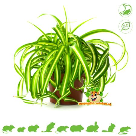 Frische BIO Graslilie Pflanze