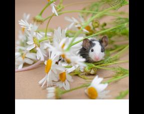 Mäuseheu, Kräuter und Samen