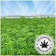 JR Farm Hemp sticks 20 grams