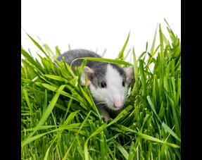 Ratten Graafbak