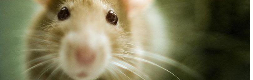 Ratten blijven slanker op vezelrijk dieet.