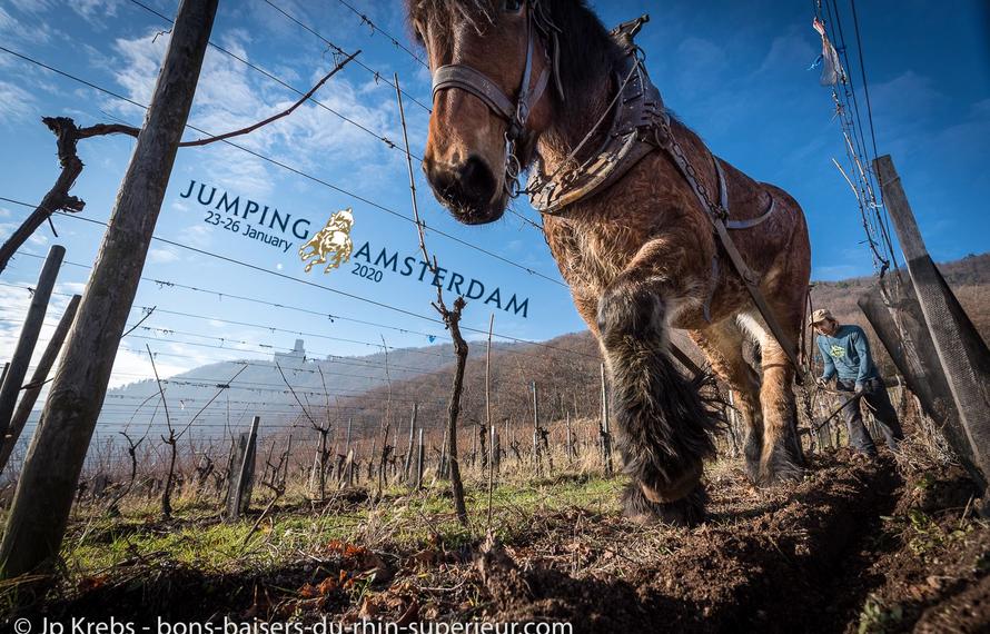 Waarom worden er steeds meer paarden gebruikt in de wijnbouw?
