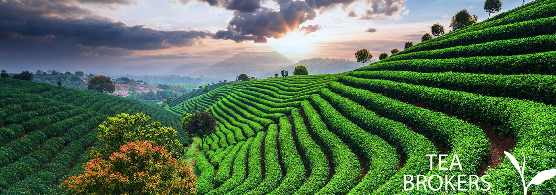 Thee plantage in China met ondergaande zon
