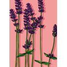 IL0260 | illi |Lavender - Post Card A6