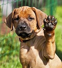 Pootbeschermer Hond