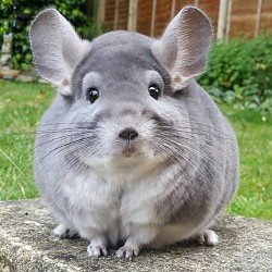 Chinchilla Kooi