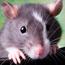 Ratten Kooi