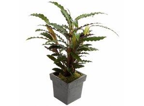 Calathea in pot (potsoort varieert)