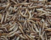 Insekten getrocknet