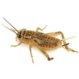 Insectra House crickets