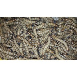 Insectra Morio-Wurm